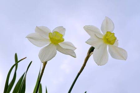 dyad: Two simple horticultural white daffodils with a yellow crown in natural light on a nature blue sky background
