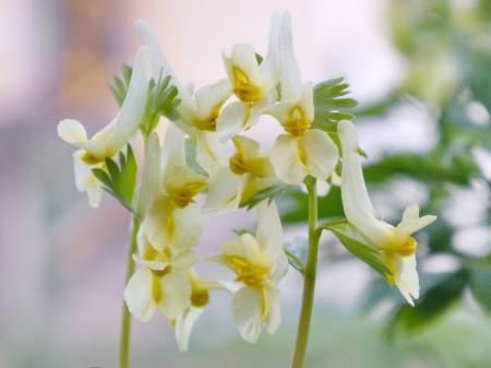 corydalis: Flowers  Corydalis  in Wildlife of early spring