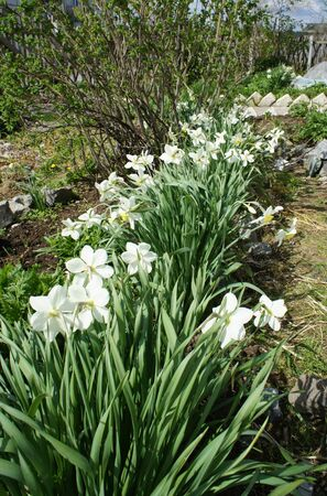 Simple horticultural white daffodils in the garden