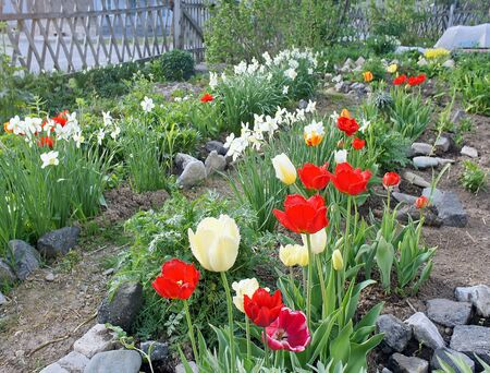 horticultural: Many simple horticultural white daffodils and multicolority tulips in natural light on a garden background