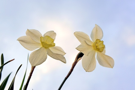 dyad: Flowers narcissus on a  blue sky background  Stock Photo
