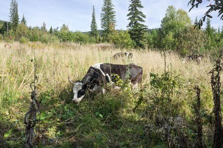 Black and white cow grazing in dry grass  among the autumn forest.