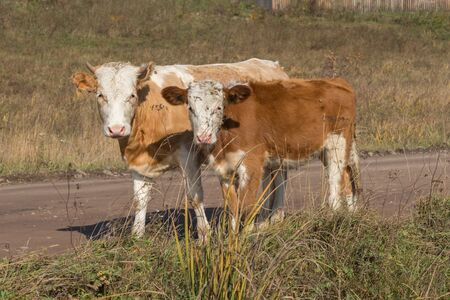 Young bull and calf stand on the road against the background of grass  in the autumn.