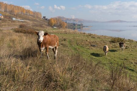 Cow rises on a hill from the shore of the Great Lake, on the background of the village in autumn.