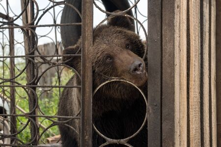 Curious Brown bear (Ursus arctos) looks out of the metal cages of the cage.