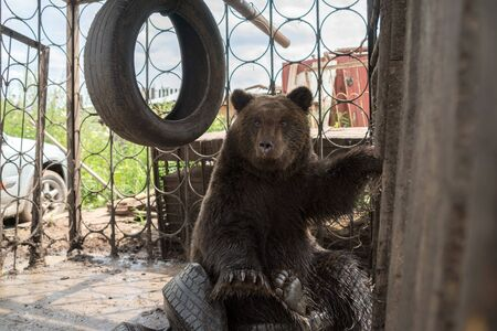 Brown bear cub (Ursus arctos) is sitting  in a iron cage on automobile tires and looking straight.