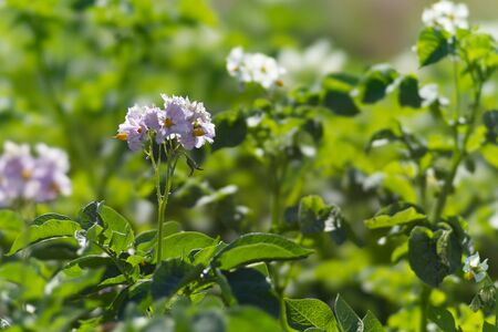 Potatoes are blooming with purple flowers during the growing season on the potato field. Stock Photo