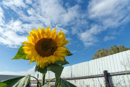 Common sunflower blossoms in the kitchen garden on the background of the fence in a sunny day.
