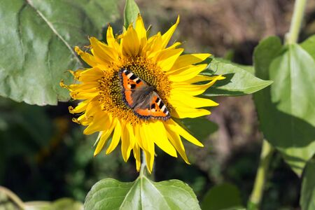 Butterfly-urticaria (Aglais urticae) sits on a flower of a blooming sunflower.