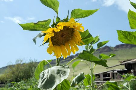 Common sunflower blooms in the kitchen garden against the sky in a sunny day