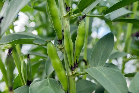 The pods of the vegetable plant Russian black beans ripen in the garden in the summer. 写真素材