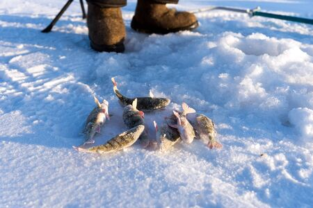 Perch, just caught from the hole, lie in the snow against the background of fishing boots during the winter fishing.