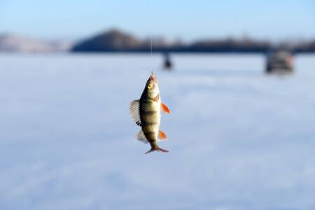 Perch, just caught from the hole, hanging on a hook on the background of the lake during the winter fishing. Stock Photo