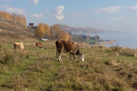 Cows graze on the shore of the Big Lake on the background of the village in the autumn morning. Reklamní fotografie