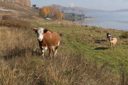 A cow rises on a hill from the shore of the Great Lake on the background of the village on an autumn morning. Reklamní fotografie