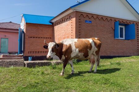 Redhead domestic cow stands near a rural shop in the village in summer.