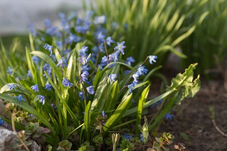 Perennial, herbaceous, bulbous plant Siberian Scilla (Latin Scilla siberica) blooms in early spring.