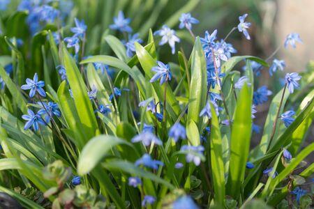 Background of perennial, grassy, bulbous plant Siberian Scilla (Latin Scilla siberica) Banco de Imagens