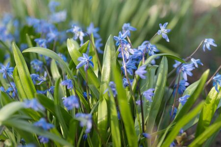 Background from the flowering plant Siberian Scilla (Latin Scilla siberica) in early spring.