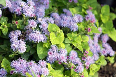 Lush bushes of purple Ageratum Gauston, or Mexican Ageratum (lat. Ageratum houstonianum) in the garden.