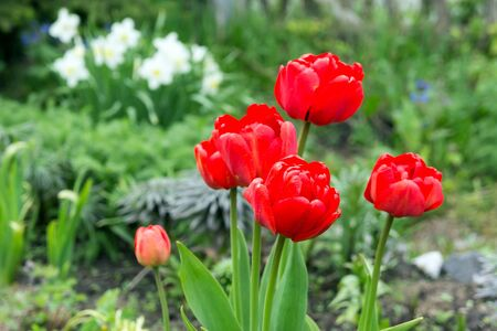 A group of red tulips in bloom in the spring garden on the background of white daffodils. Banco de Imagens