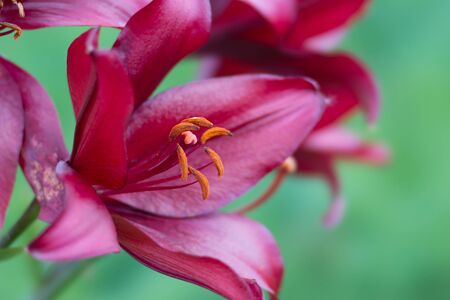 Beautiful dark burgundy lily on a green background close-up.