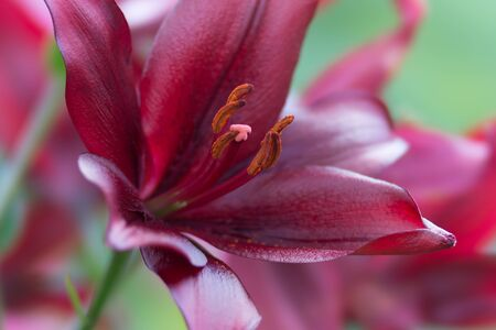 Beautiful great dark burgundy lily on a green background close-up. Banco de Imagens