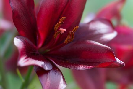 Beautiful shiny dark burgundy lily on a green background close-up.