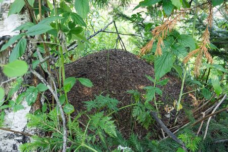Big ant hill nestled among foliage in summer forest.