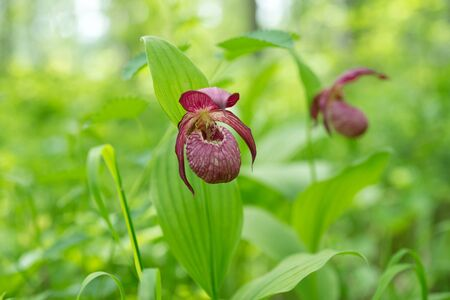 Disappearing view of wild orchid grandiflora Lady's Slipper  (Cypripedium ventricosum) on a green background, in a natural environment. 版權商用圖片