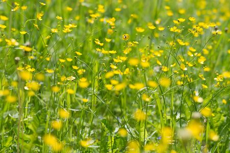 Background of yellow meadow flowers of a buttercup in a natural environment.