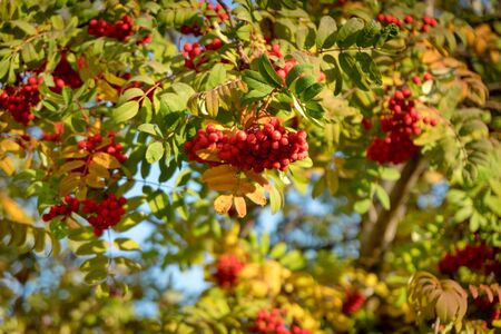 Berries of the Mountain ash (lat. Sorbus aucuparia) among autumn foliage.