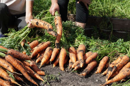 People are holding in their hands Root crops Sowing carrots (Latin Daucus carota subsp. Sativus), just pulled out of a garden bed on a sunny summer day.