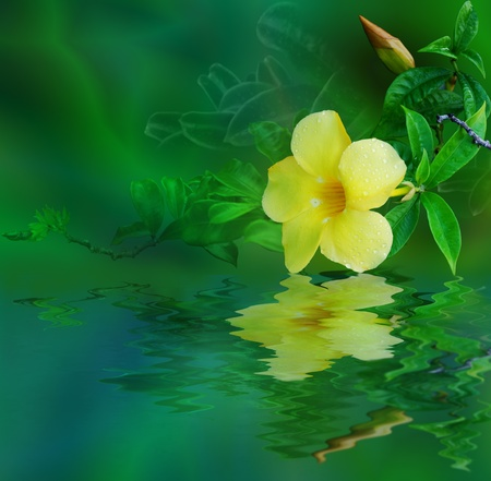 Tropical yellow flower reflected in water