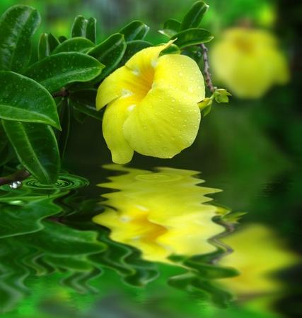 Yellow alamanda flower water reflexion