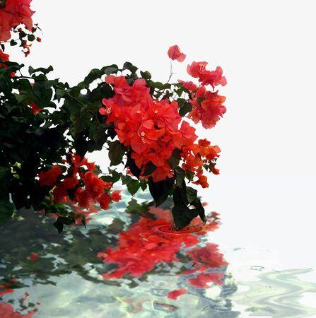 bougainvillea: Bougainvillea beautiful red branch water reflexion