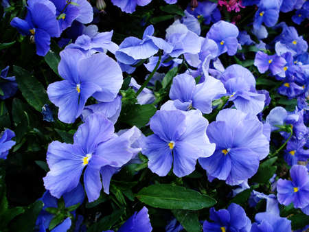 Lot of blue pansies floral background                              Stock Photo