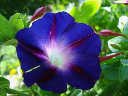 morning glory: Blue flower morning glory