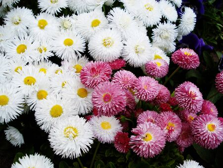 White and pink garden flowers