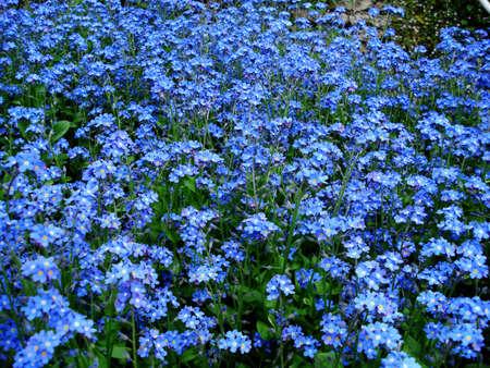 Beautiful spring blue flowers