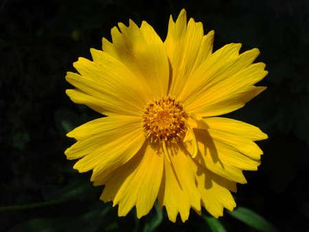 Yellow isolated garden daisy