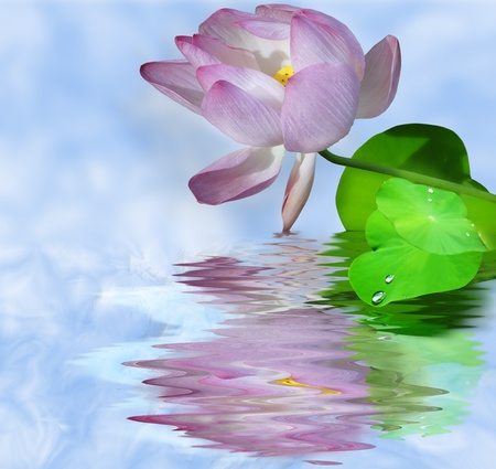 Isolated lotus water reflexion                               photo