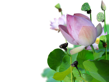 Lotus flower and white background                              Stock Photo