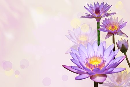 Water lilies flowers and bokeh effect background