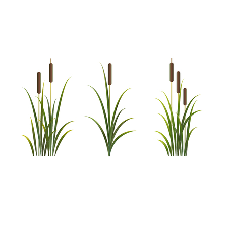 Reeds vector isolated set. Rush on white background