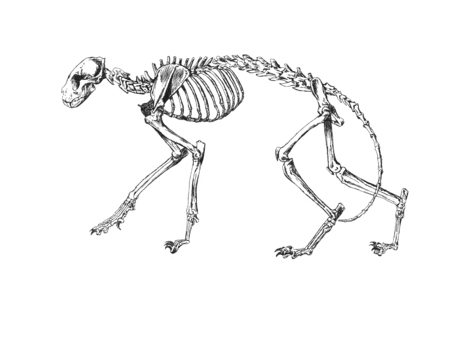 poisonous substances: Drawing of Cat skeleton