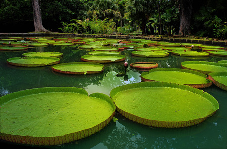 water lilly: Giant lillies floating on a tranquil pond