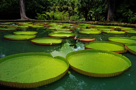 tranquil: Vibrant and healthy giant water lilies floating on a clear and tranquil pond