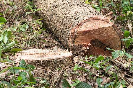 cutting tree Chopped trees Stock Photo - 27711796