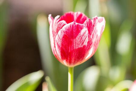 tulipano nel campo Archivio Fotografico